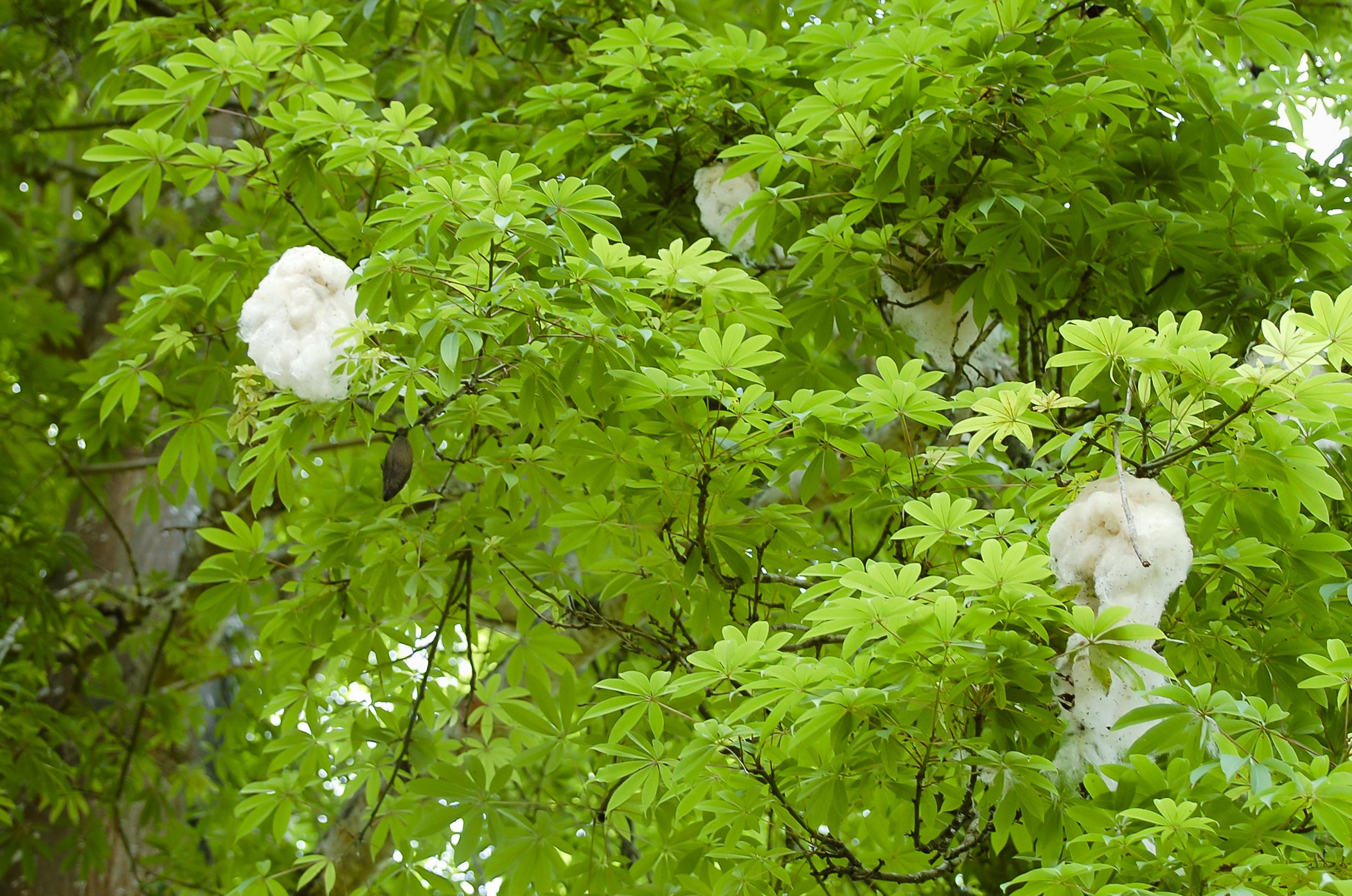 Kapok Tree.jpg