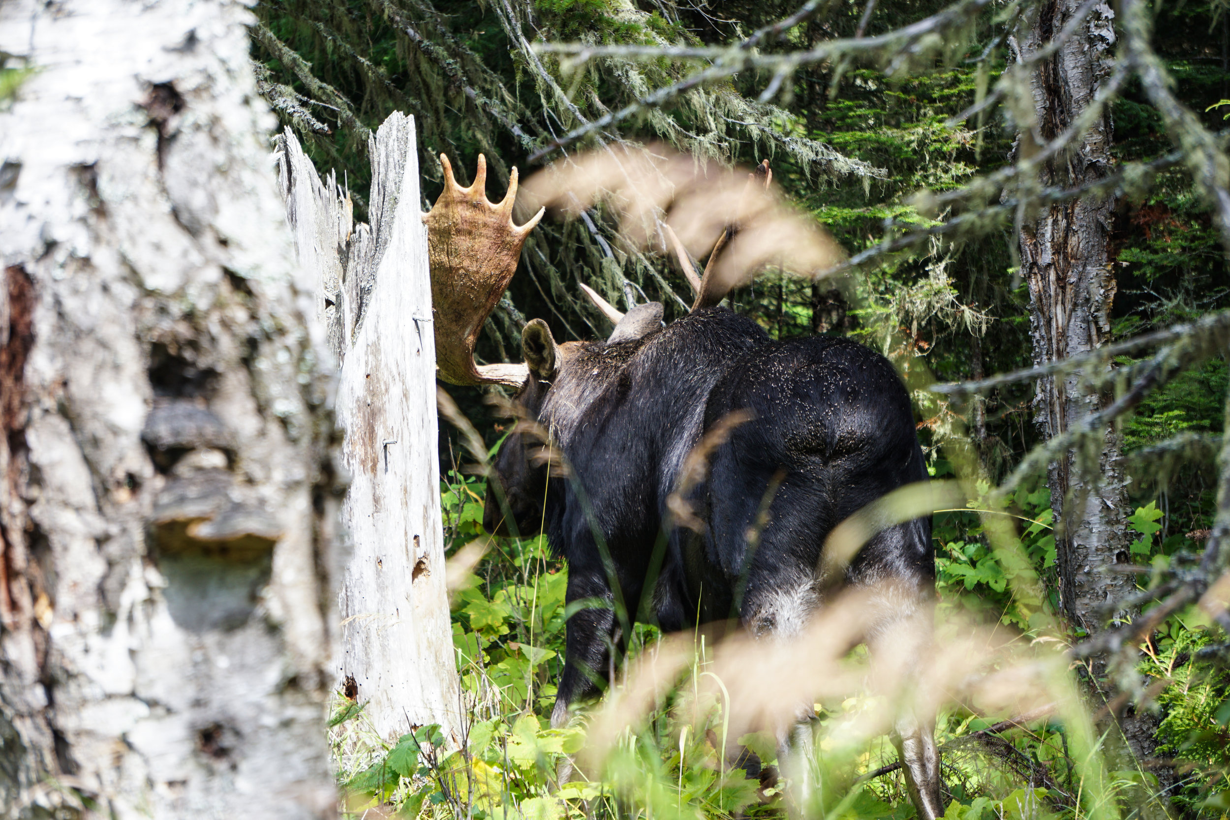 Moose, seen in the first 15 minutes of hiking