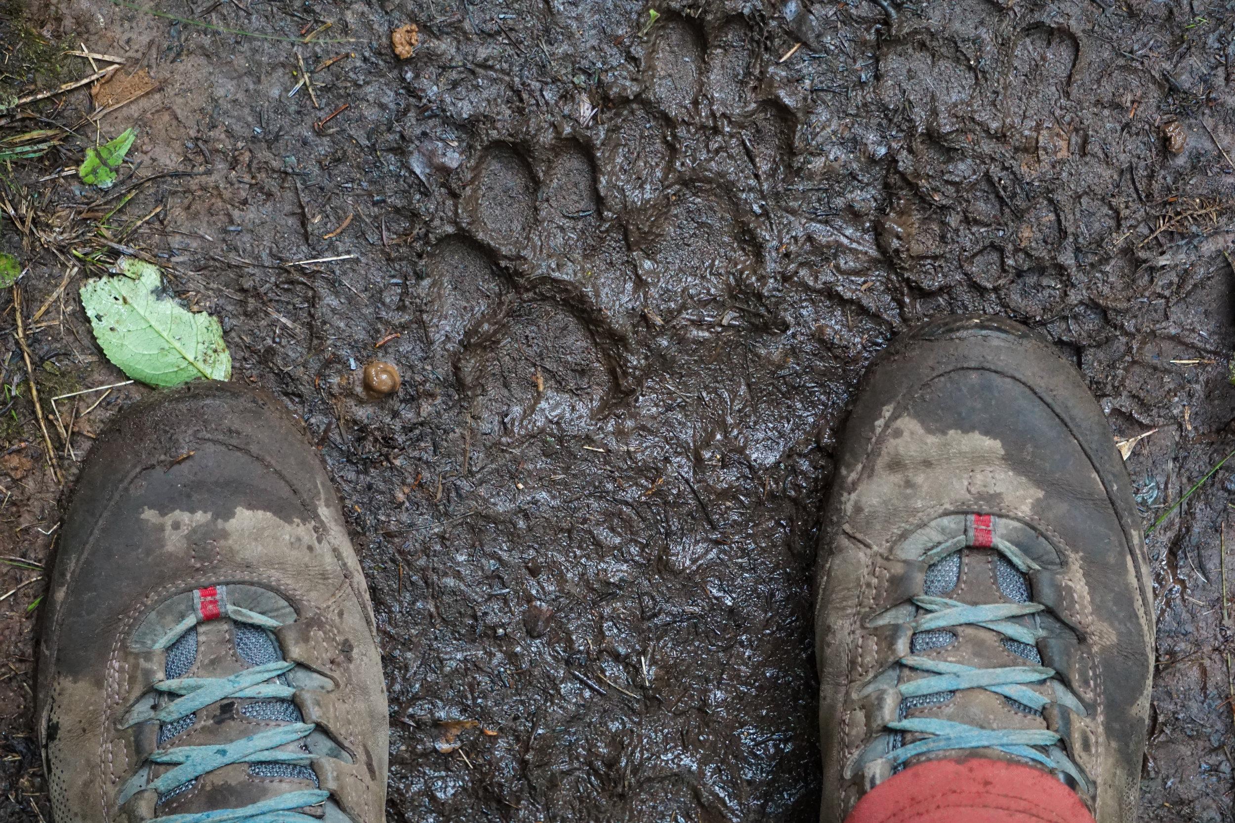 Fresh wolf prints