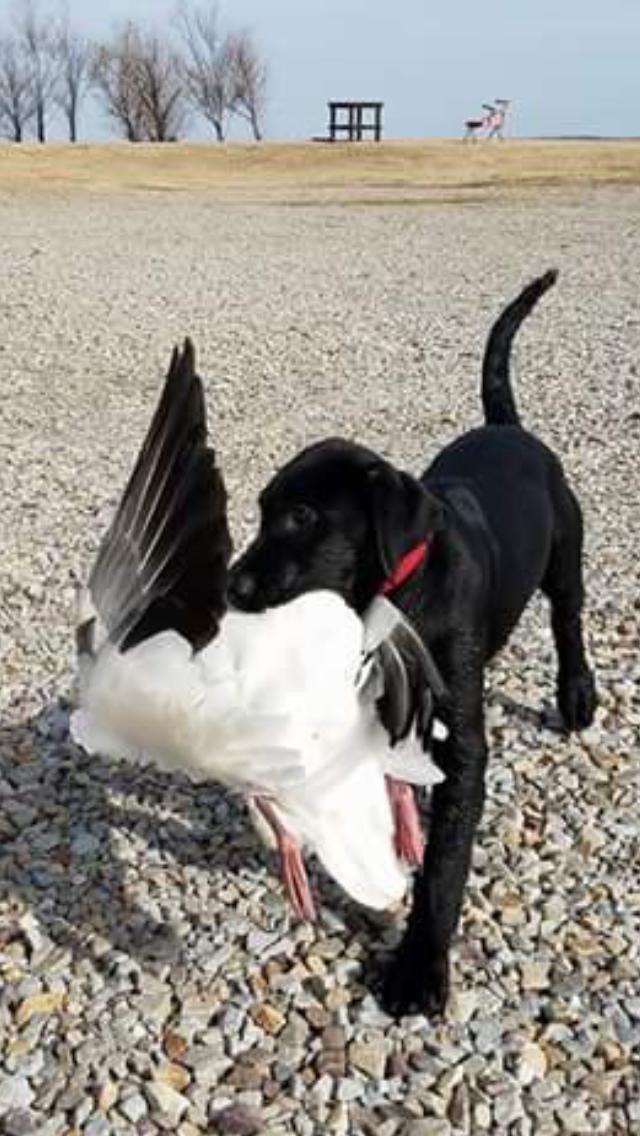 retriever snow goose