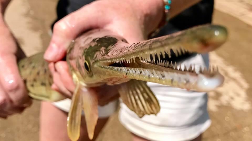 Bowfishing for gar