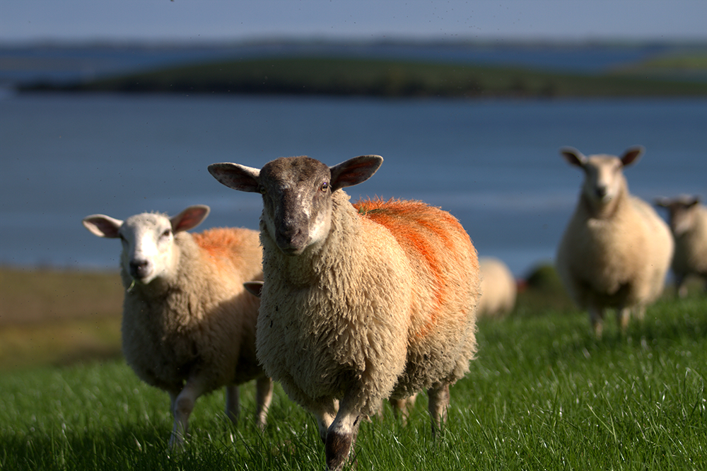 Mule cross texel lambs grazing with views over Strangford Lough