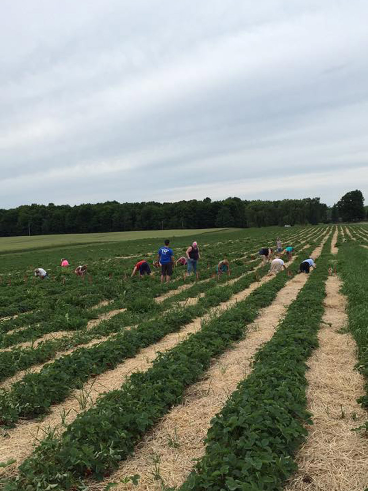 tomions farm strawberry picking new york state berries.jpg