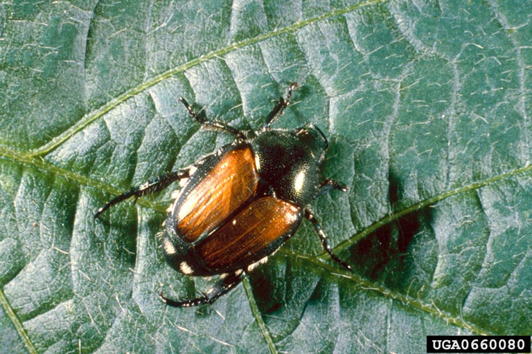 Japanese beetle. Photo by USDA ARS Photo Unit, USDA Agricultural Research Service, Bugwood.org.