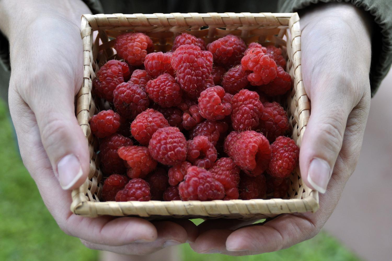 new-york-state-berry-growers-how-to-control-swd-raspberries-blackberries.jpg