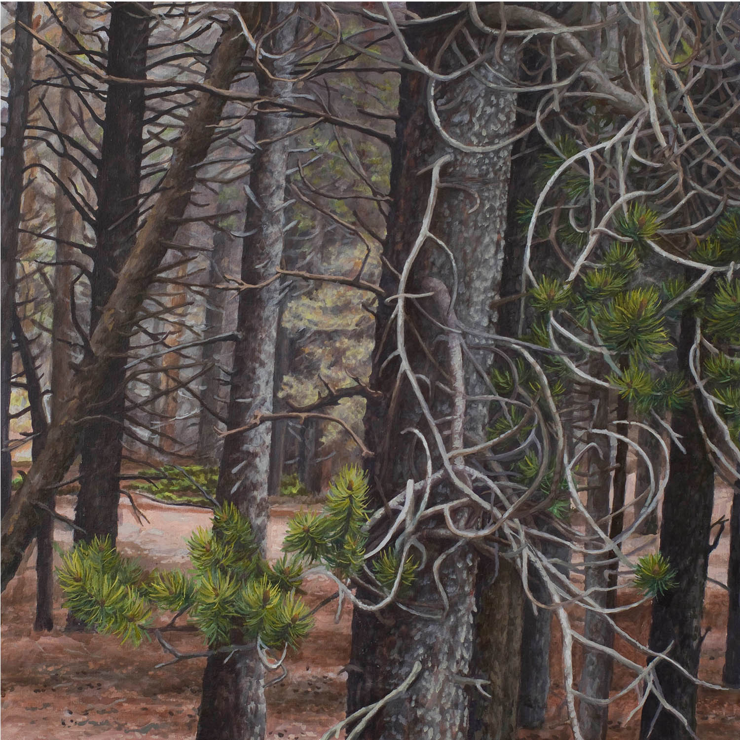 """Lodgepole series #1: Oil on linen canvas over panel 30"""" x 30"""" 2012"""