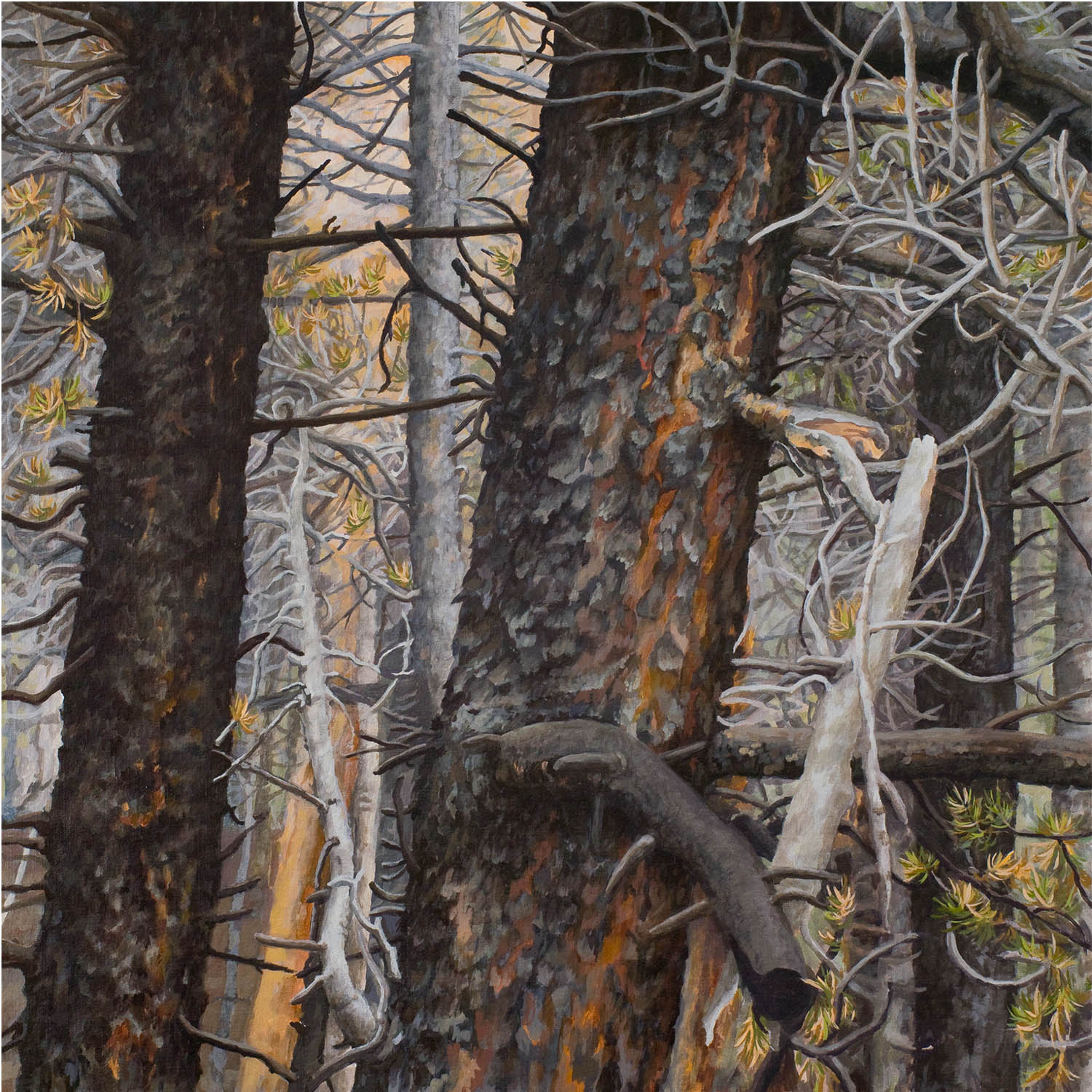 """Lodgepole series #2: Oil on linen canvas over panel 30"""" x 30"""" 2012"""