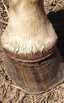 SOURCE: http://csu-cvmbs.colostate.edu/images/horse-hoof-with-vesicular-stomatitis-220x350.jpg
