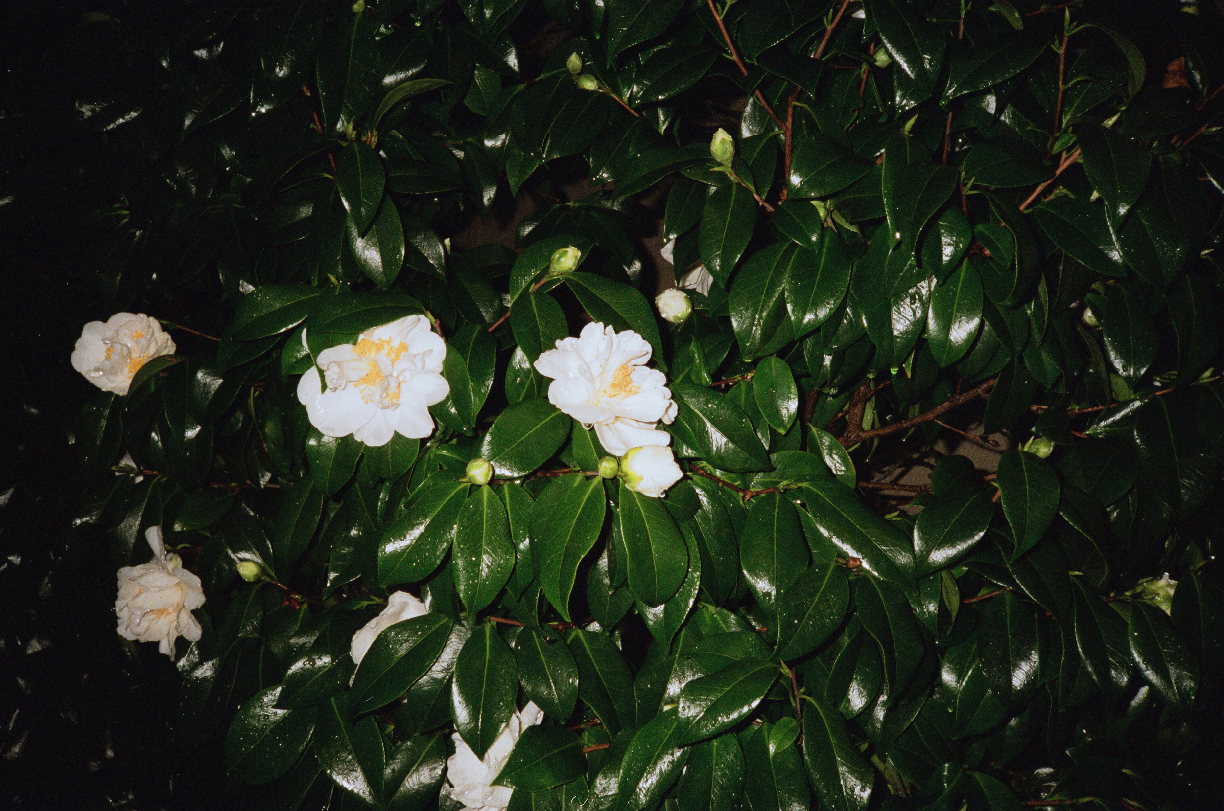 Rainy Flower At Midnight
