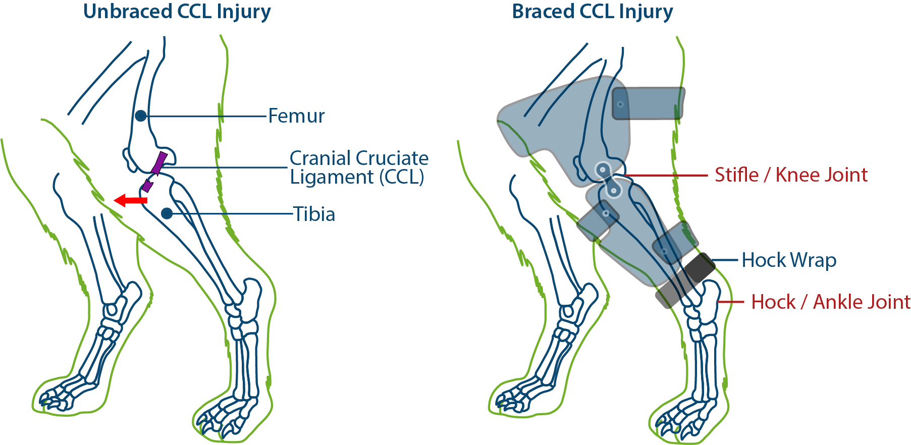 PawOpedic Custom Cranial Cruciate Ligament (CCL) Brace - How does it work?