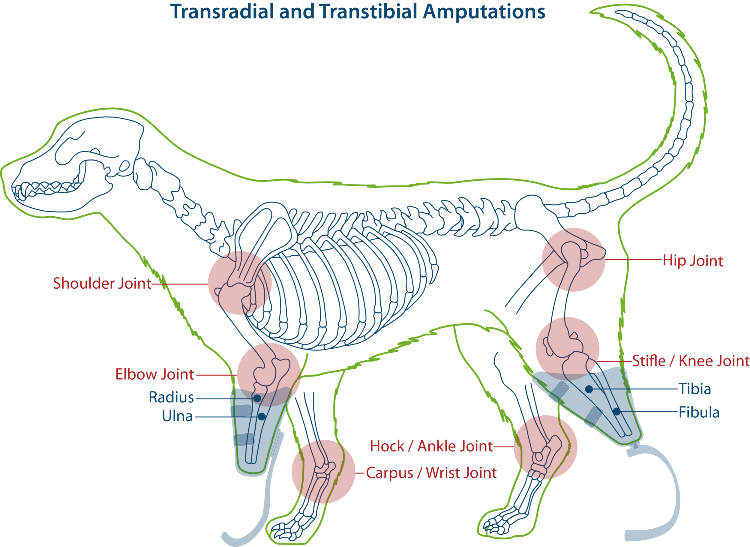 Transradial and transtibial amputations in dogs