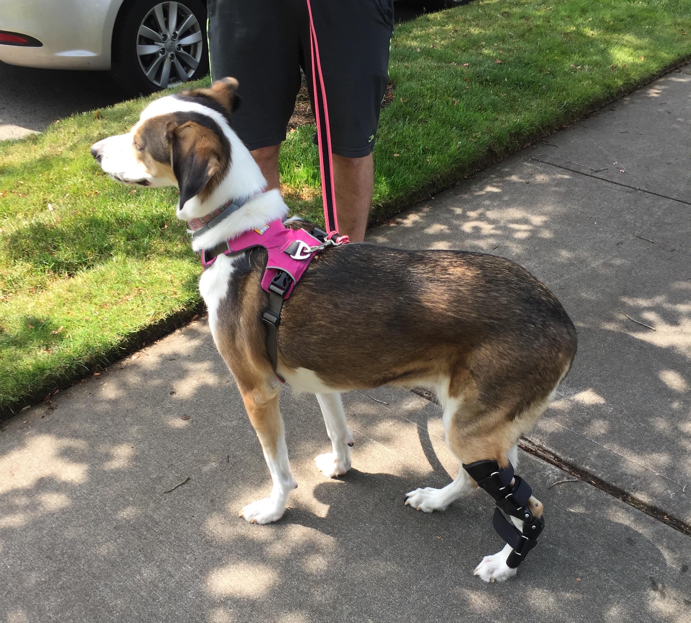 Canine Tarsal LCL Brace
