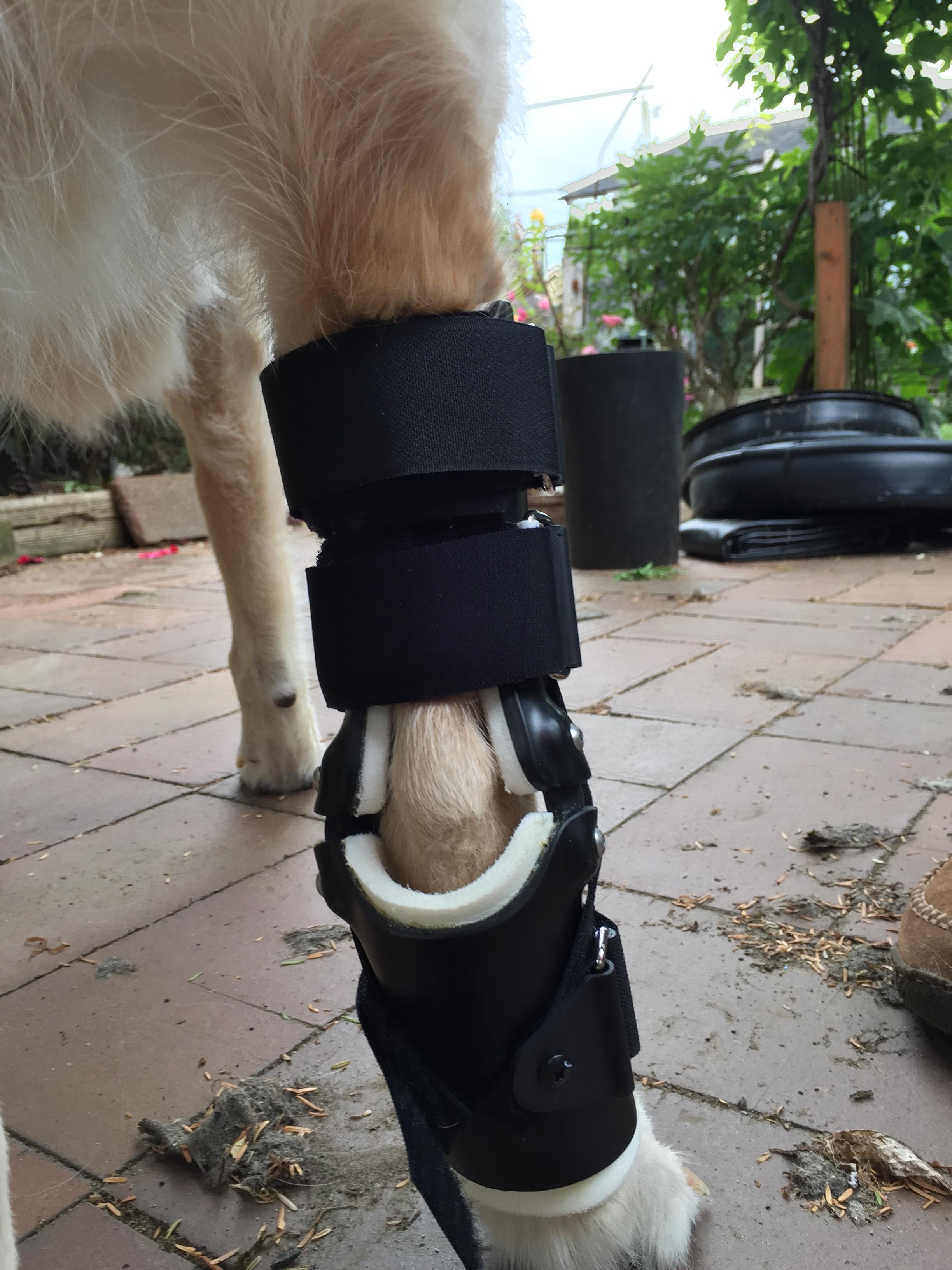Canine Tarsal Hyperextension Brace