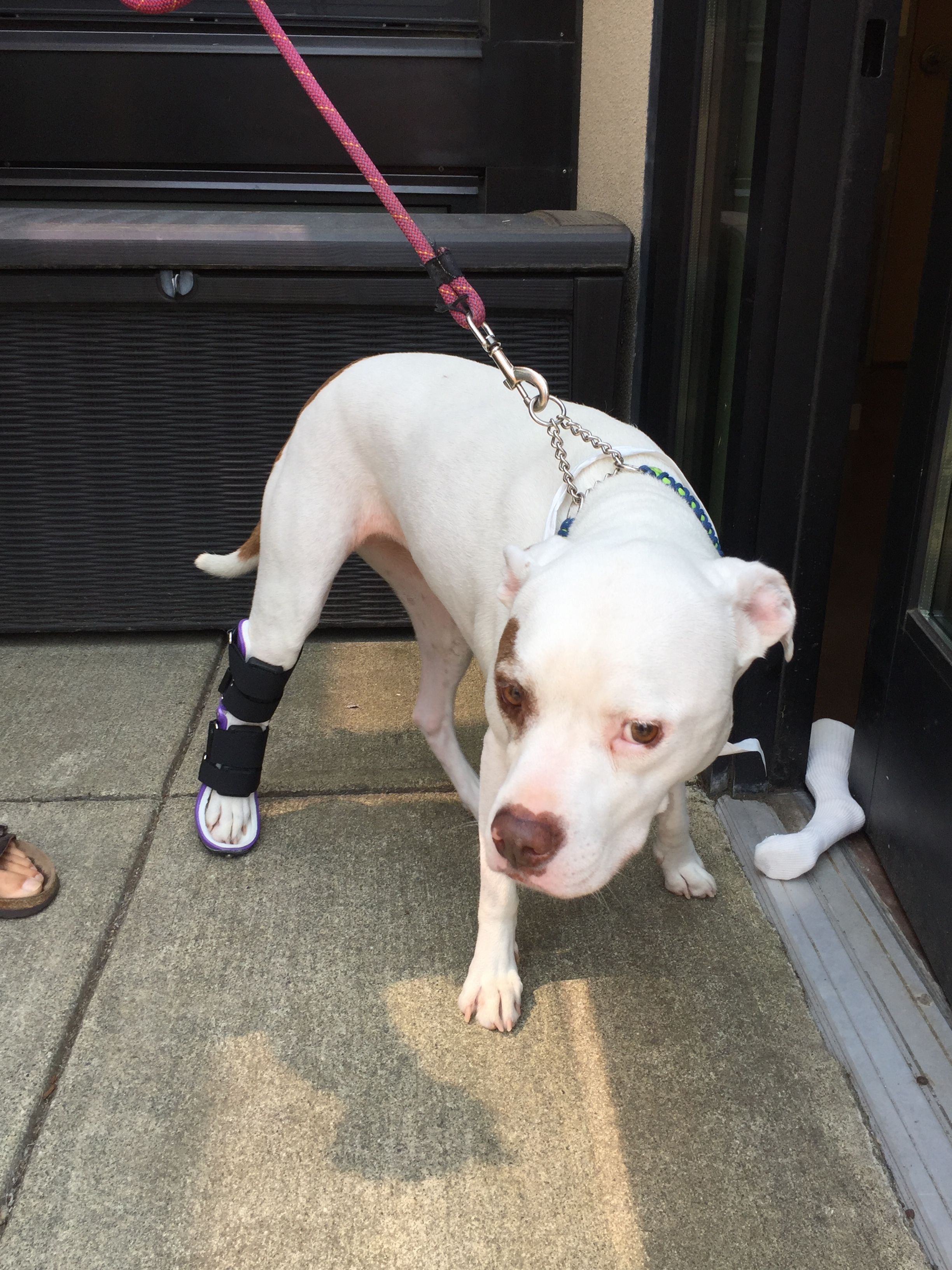 Custom Dog Tarsal / Achilles Brace