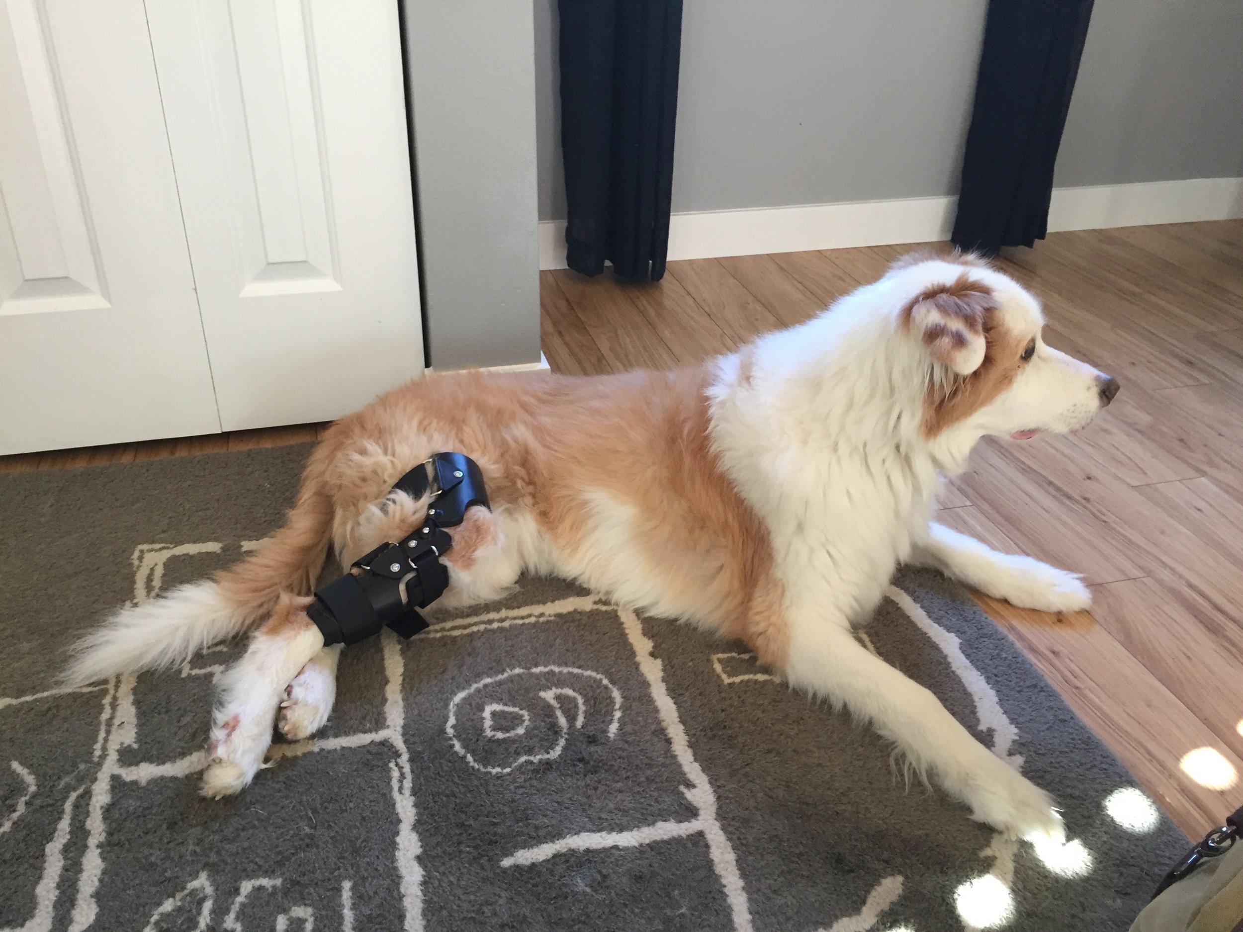 Dog Stifle Brace - CCL Tear