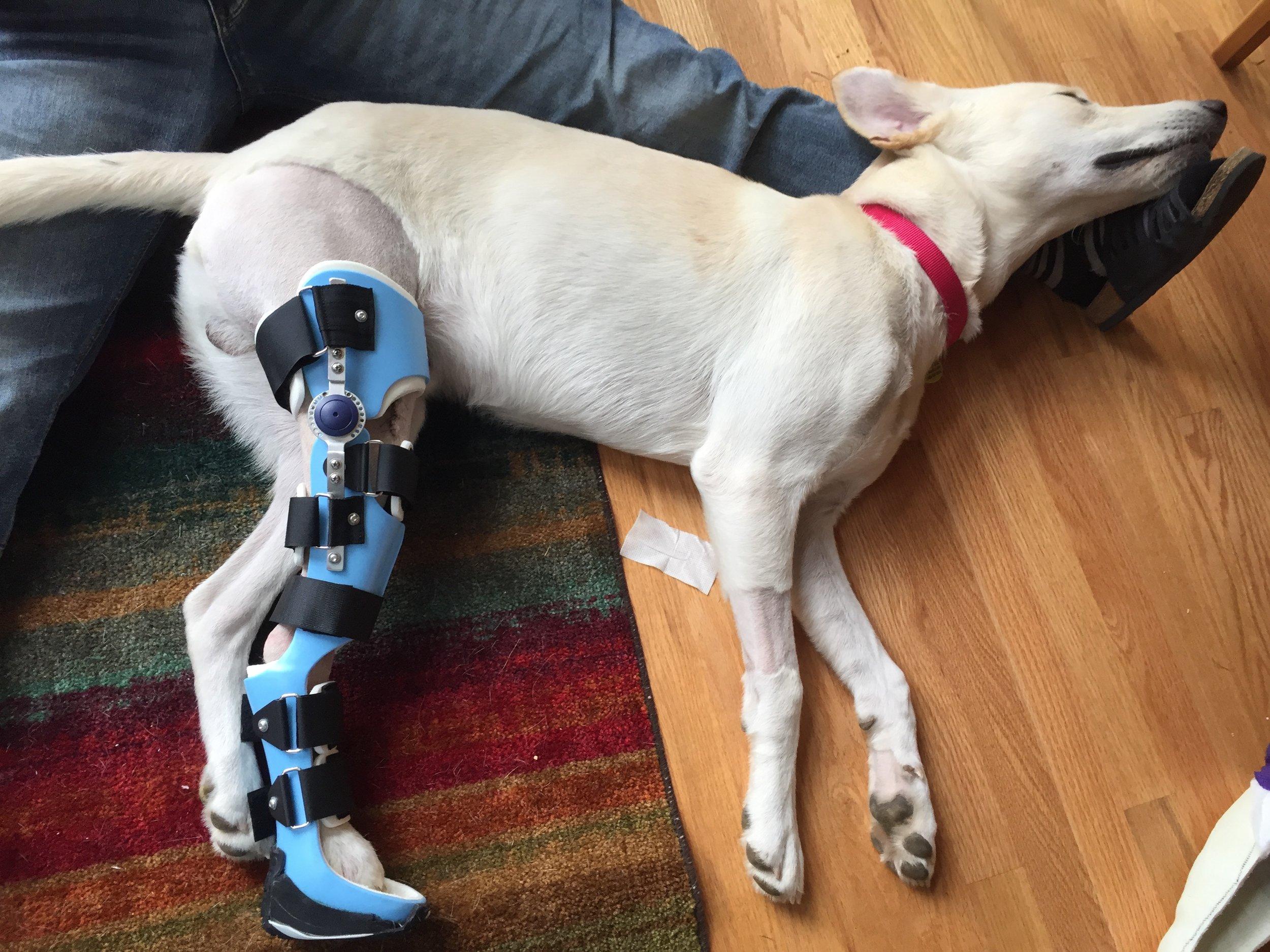 Canine Stifle Tarsus Brace