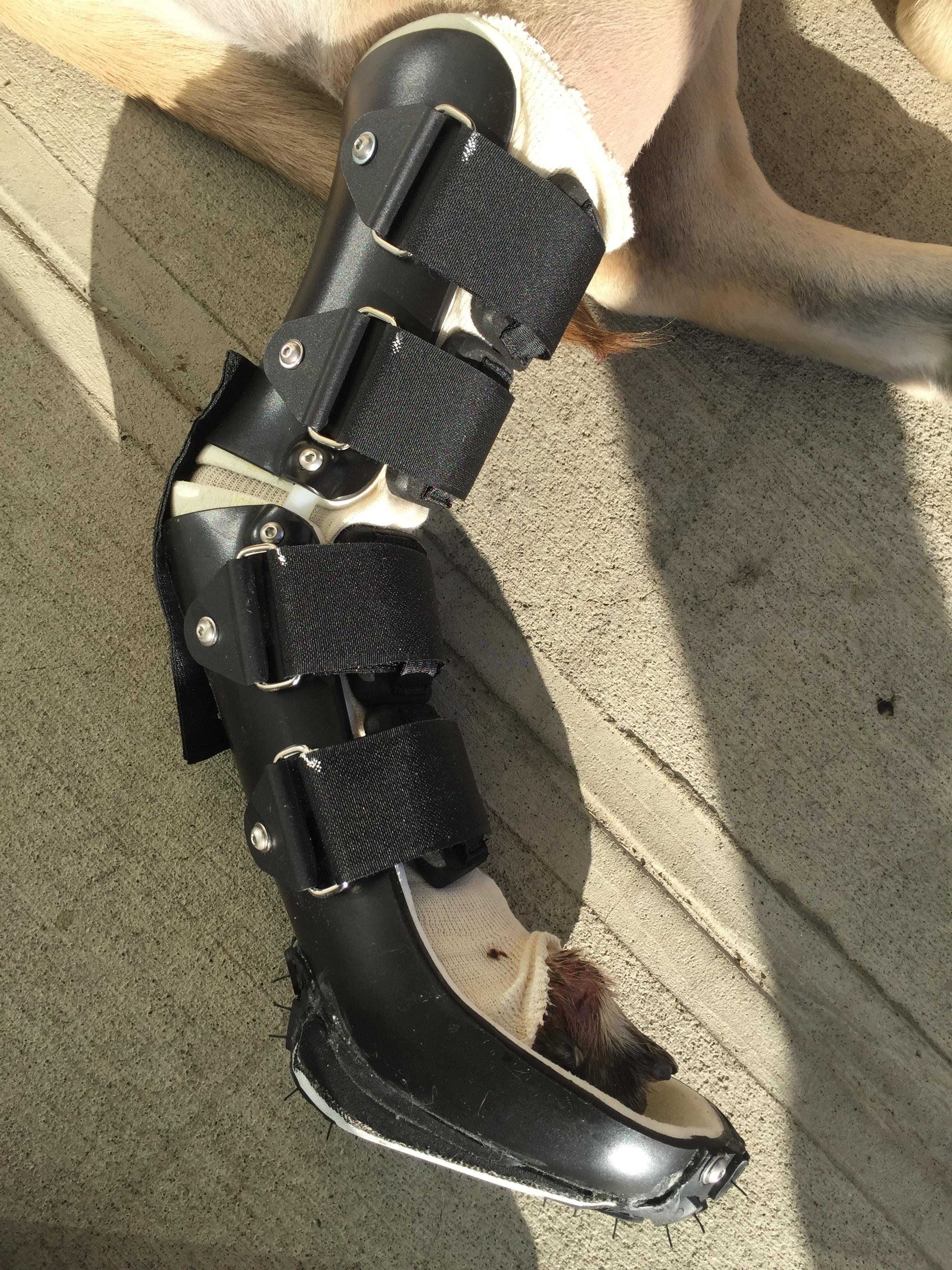 Dog Achilles Brace