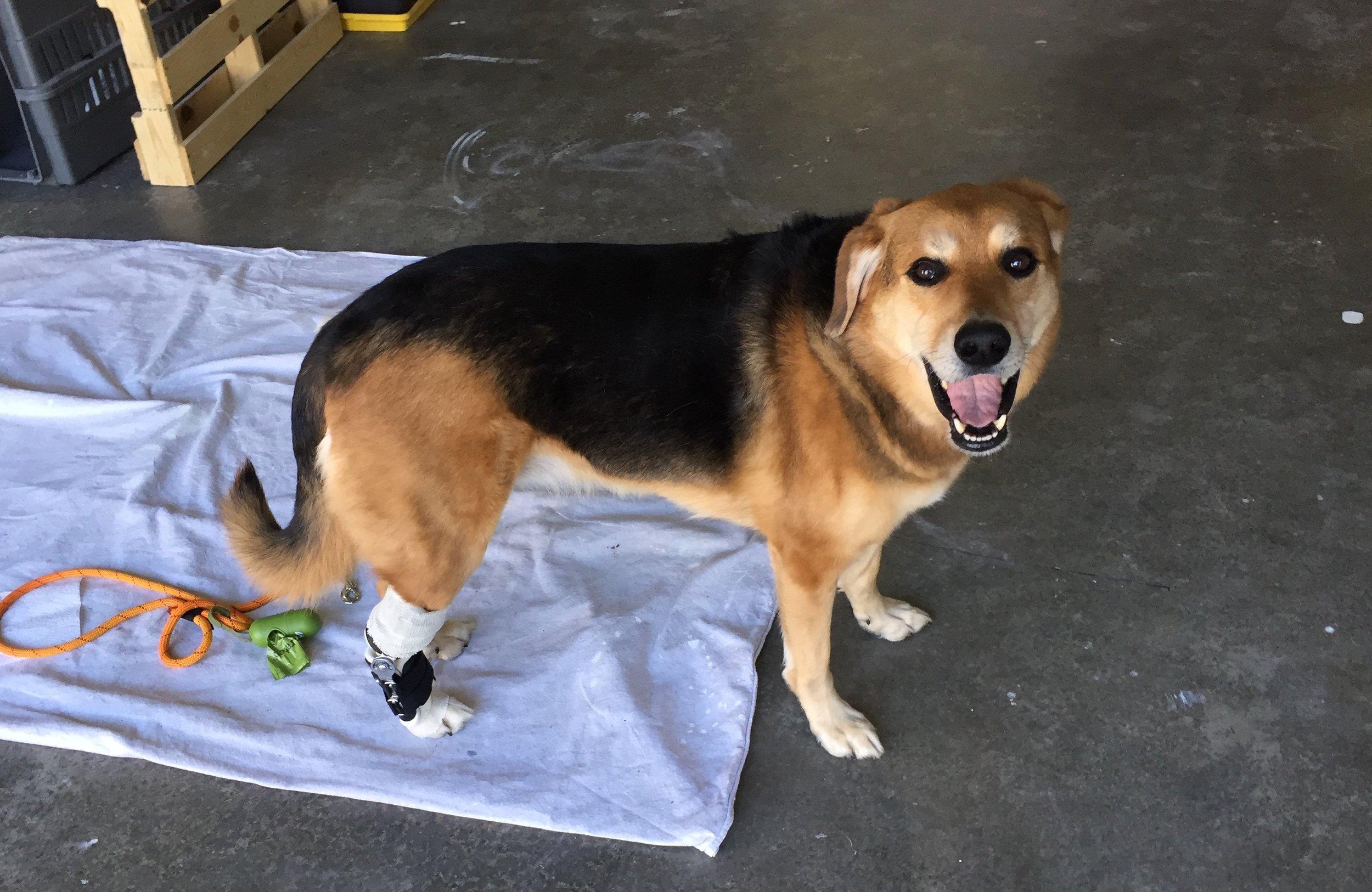 Canine | Dog Tarsal Brace