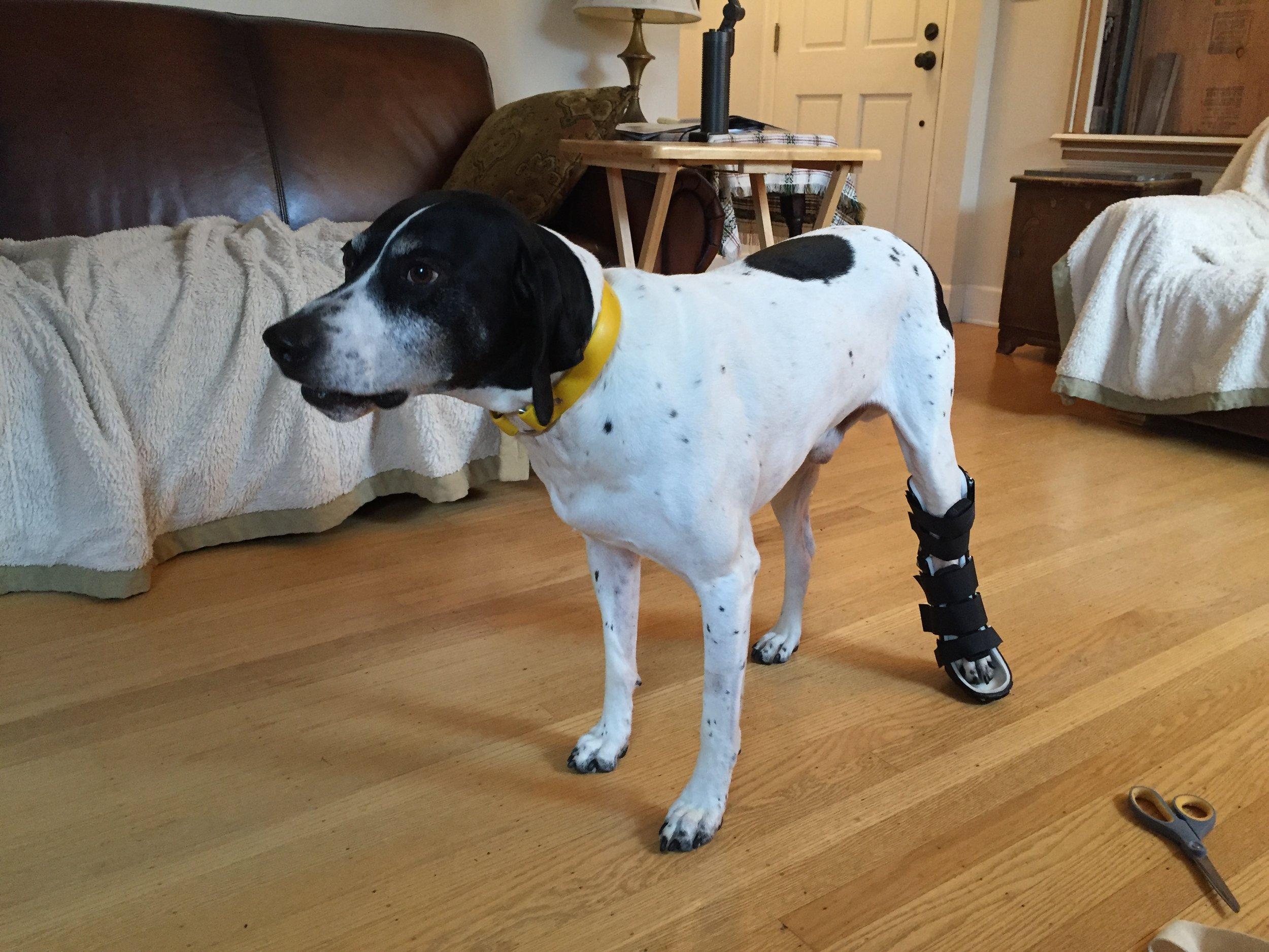 Canine Achilles Brace