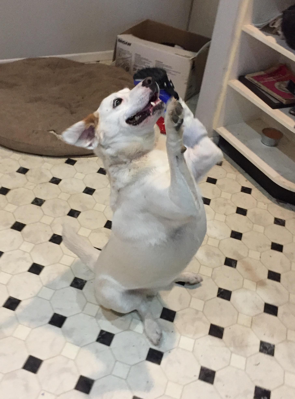 Canine Carpal Hyperextension Brace