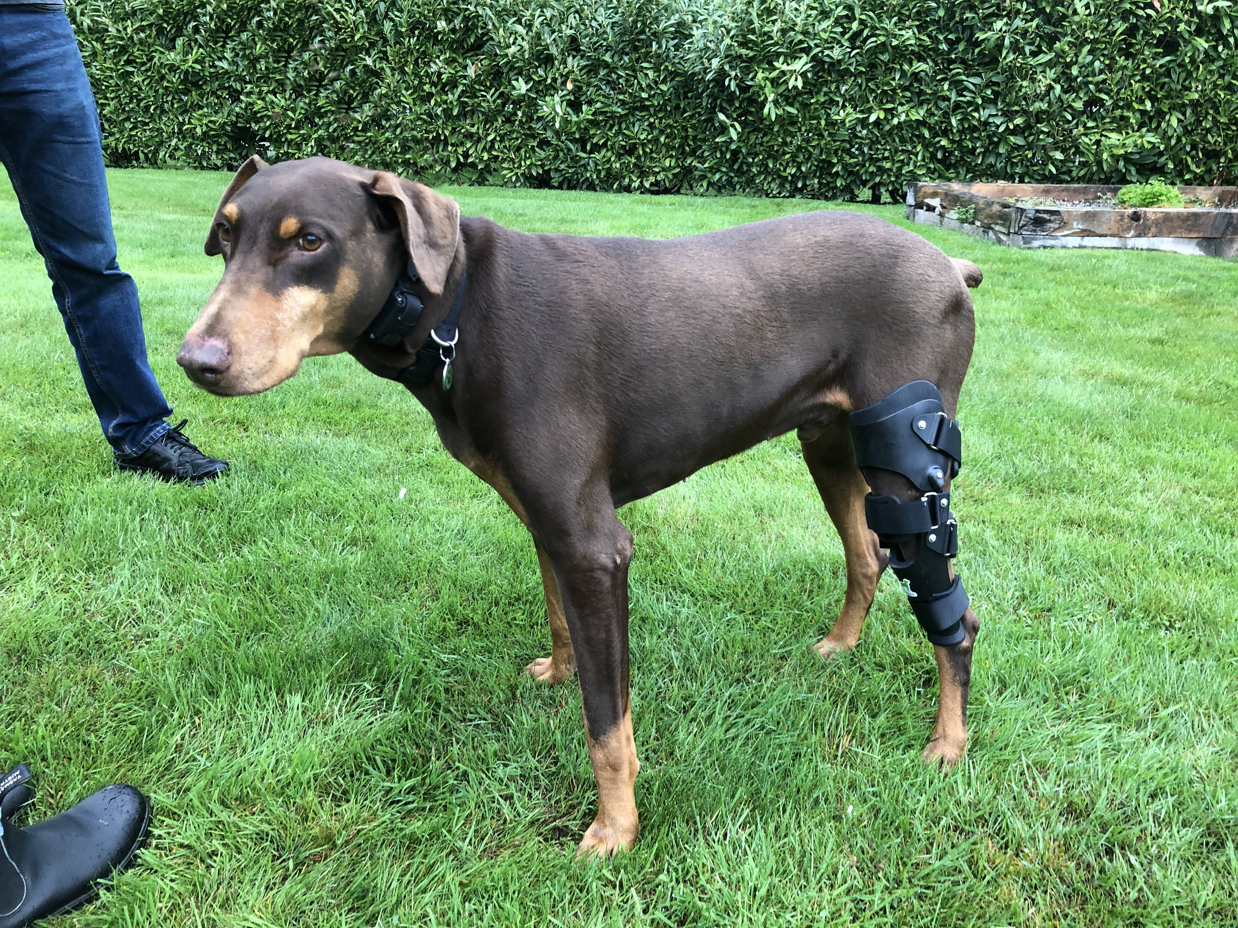 Canine ACL/CCL Brace