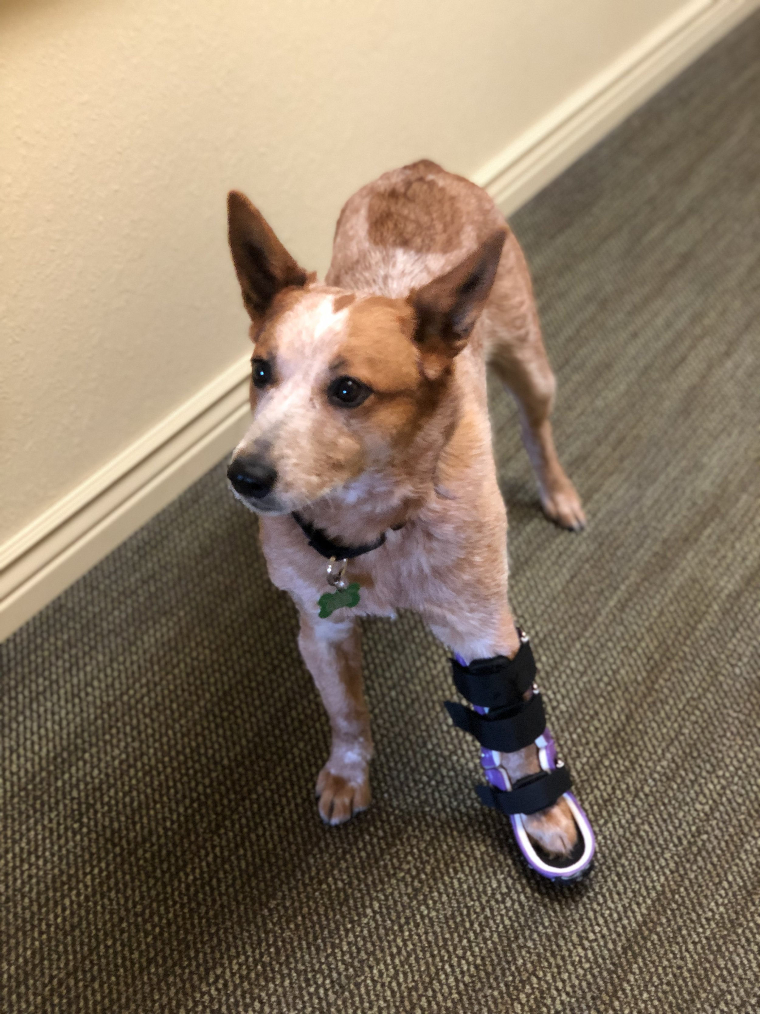 Canine Carpal Brace (Hyperextension)