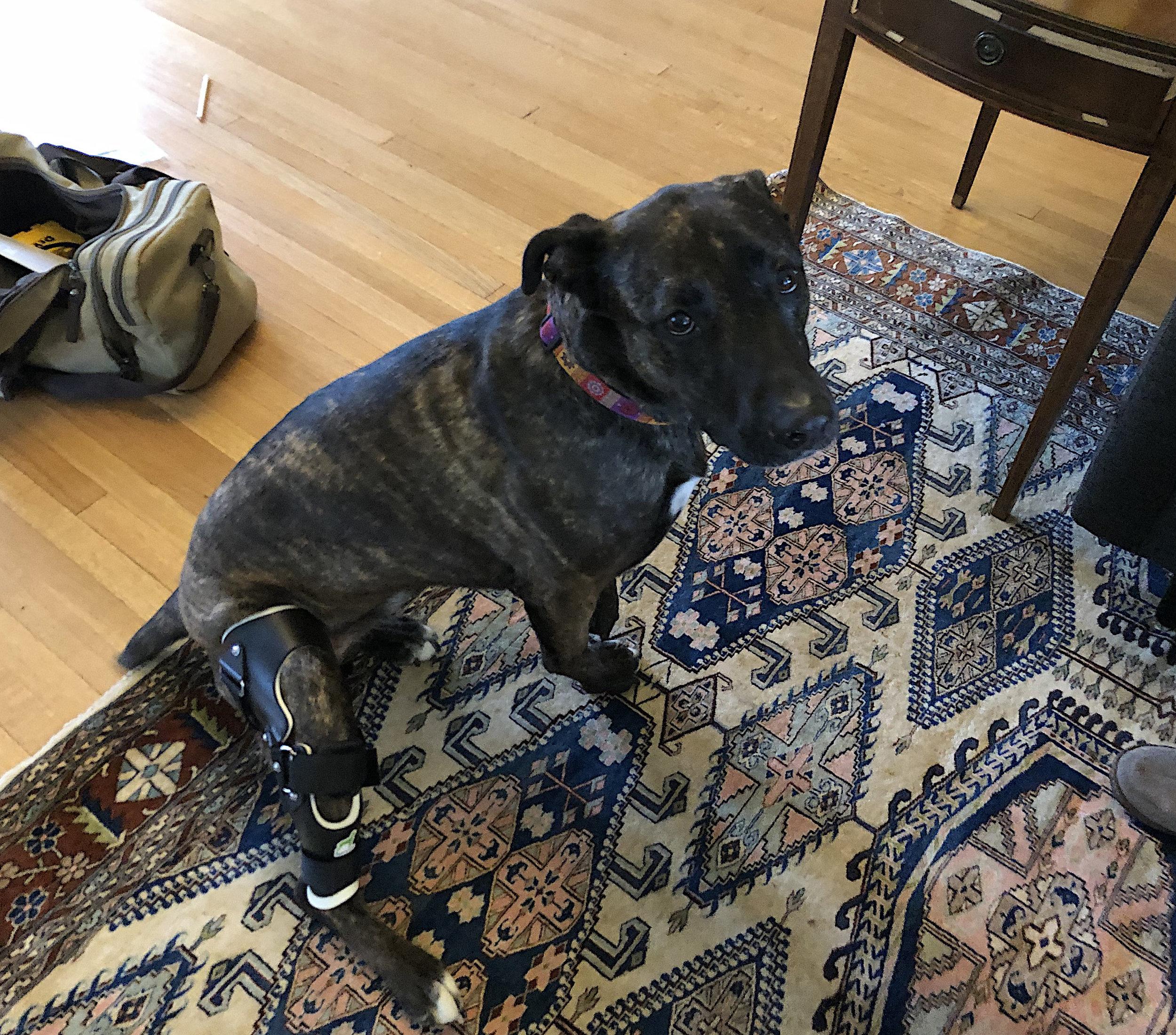 Canine Stifle (CCL) Brace