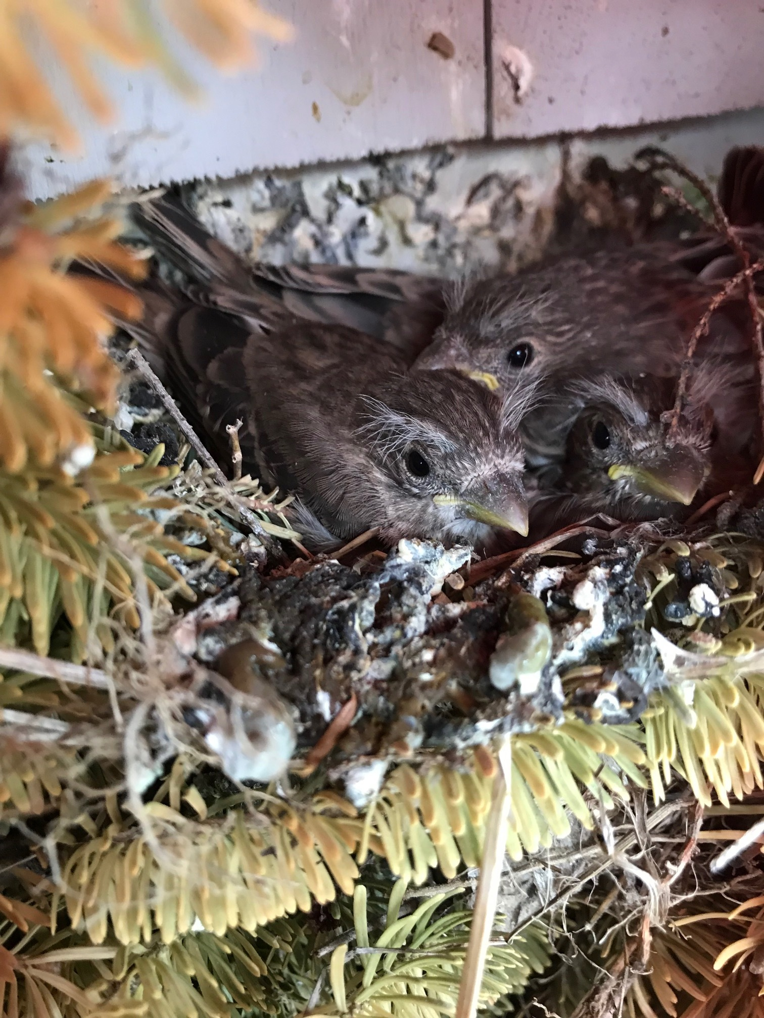 The fledglings hatched and a few weeks later they wee ready for flight! May, 2019