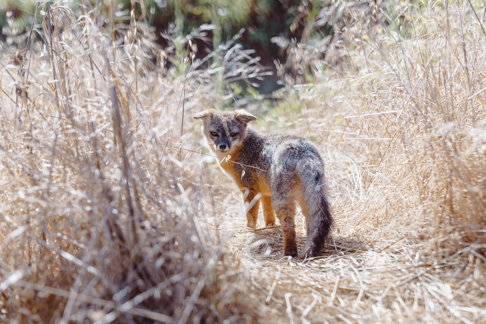 You may see a cute island fox here but this is what a camping nightmare looks like.
