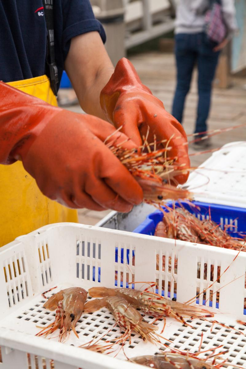 Fresh off the boat BC Spot Prawns. Photo Credit: Frederique Niel