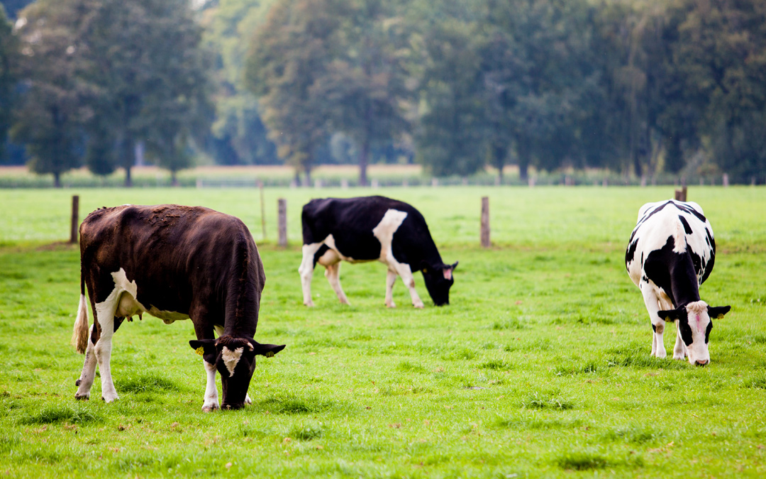 dairy.cow_.jpg