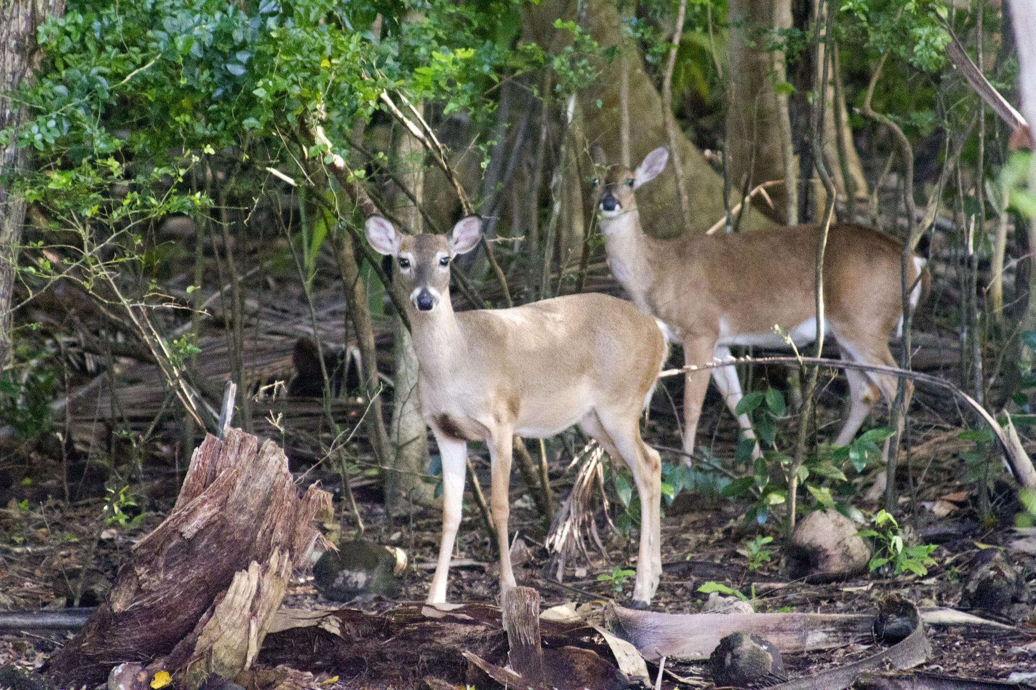 deer-at-maho-bay-9.jpg