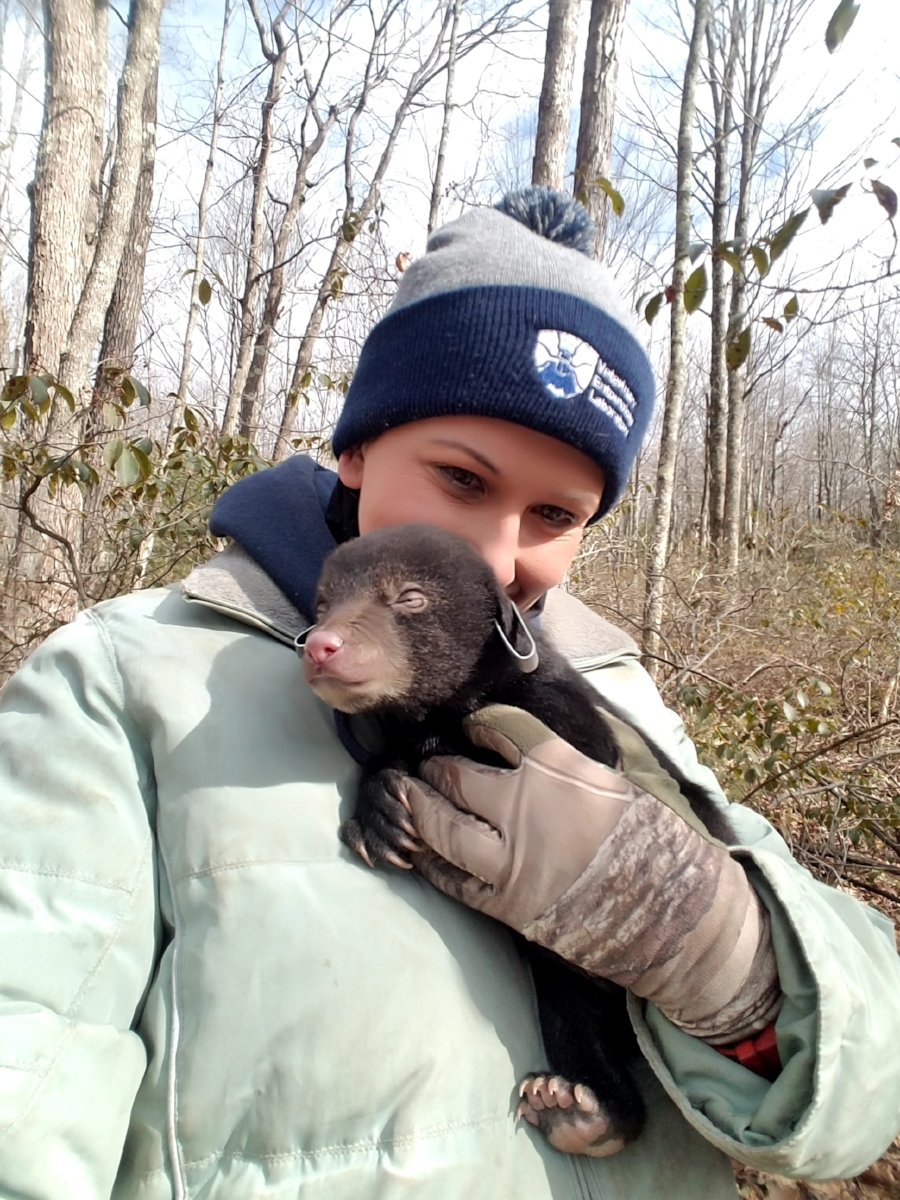 Black bear cub that was processed during the den checks this year.