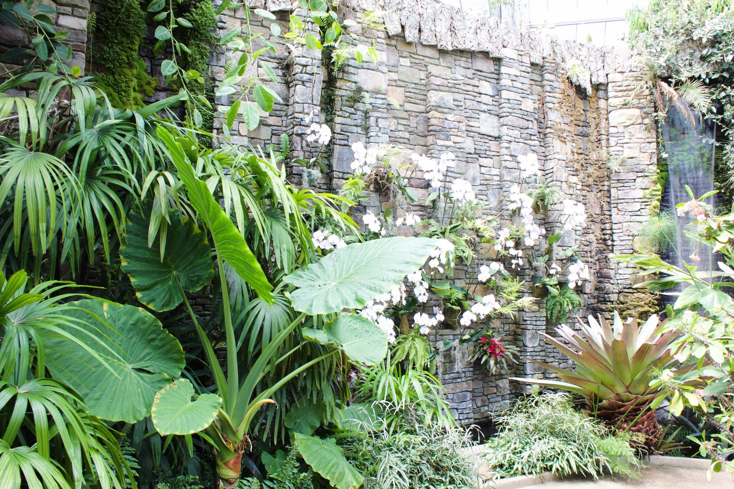 giant elephant ear - botanical gardens conservatory