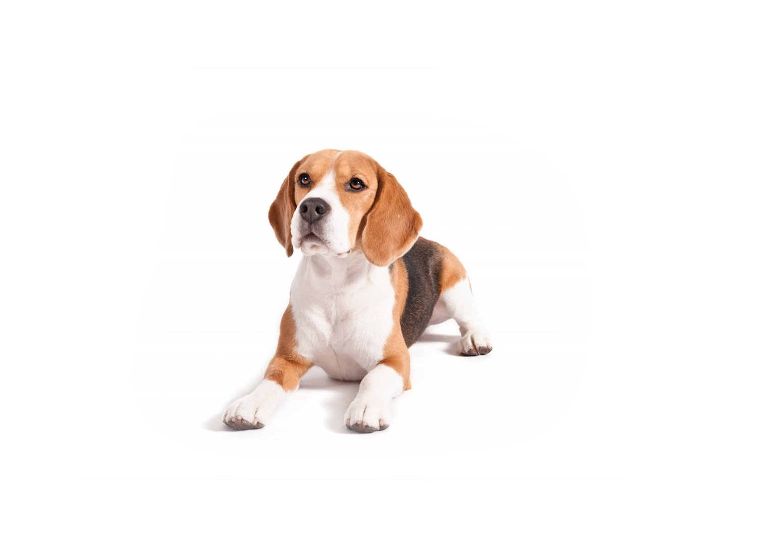 BEAGLE+PHOTOSHOP.jpg