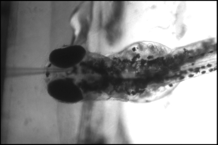 Zebrafish Are The New Lab Rats -