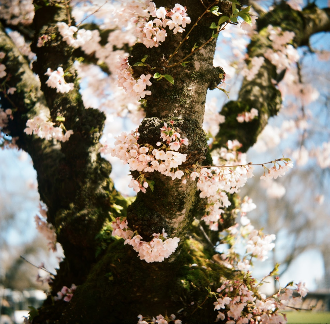 Cherry_Blossoms_PDX_AG.png