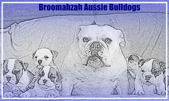 Broomahzah Aussie Bulldogs - Please contact: TroyPhone: 0414 827 387eMail: troymunro@y7mail.com