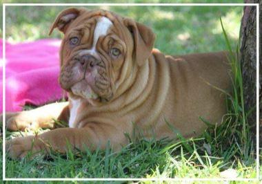 Pheonix Aussie Bulldogs - Location: MelbournePlease contact: VanessaPhone: 0478 683 703eMail: pheonixaussiebulldogs@hotmail.com
