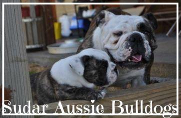 Sudar Aussie Bulldogs - Please contact: Sue and DarrenPhone: 0417 056 442eMail: sudarkennel@bigpond.com