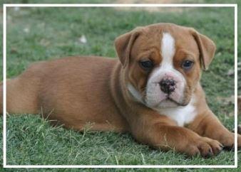 Bardo Aussie Bulldogs - Please contact: JoshuaPhone: 0422 615 340eMail: kerry74444@hotmail.com
