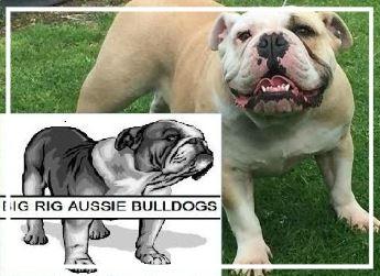 Big Rig Aussie Bulldogs - Please contact: KristyPhone: 0405 131 680eMail: bigrigbulldogs@bigpond.comwww.bigrigbulldogs.com.au