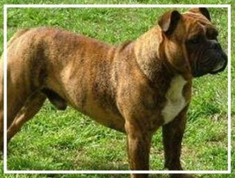 Straven Aussie Bulldogs - Please contact: MalcolmPhone: 02/6337 6562eMail: stravenbulldogs@gmail.comwww.stravenbulldogs.webs.com