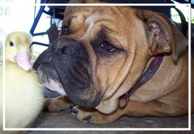 Ridgy Didge Aussie Bulldogs - Please contact: TinaPhone: 0438 742 621 or 02/6644 7326eMail: xu1tina@gmail.com