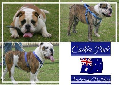 Cashka Park Aussie Bulldogs - Please contact: JohnPhone: 0413 328 460