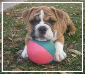 Willow Creek Aussie Bulldogs - Please contact: ErinPhone: 0431 605 57 or 02/6337 2113eMail: sharwooderin@gmail.com