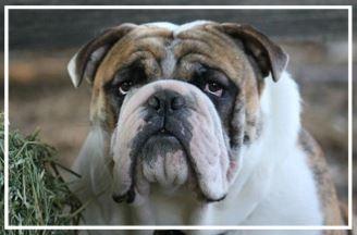 Boss 'N' Co Aussie Bulldogs - Please contact: NicoleeMail: biatch01@live.com.au