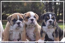 Siennabull Aussie Bulldogs - Please contact: ClyntoneMail: clyntond@yahoo.com