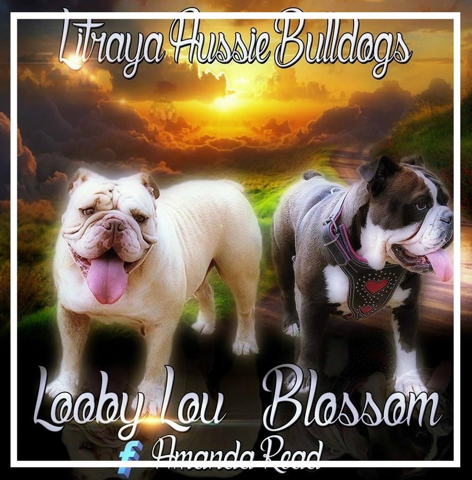 Litraya Aussie Bulldogs - Please contact: AmandaPhone: 0478 361 427 or 02/5301 6538eMail: litrayabulldogs@gmail.com
