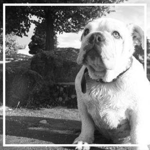 Fabulist Aussie Bulldogs - Please contact: SuzanePhone: 0447 499 243 or 03/6339 4049eMail: fabulistbulldogs@yahoo.com.com